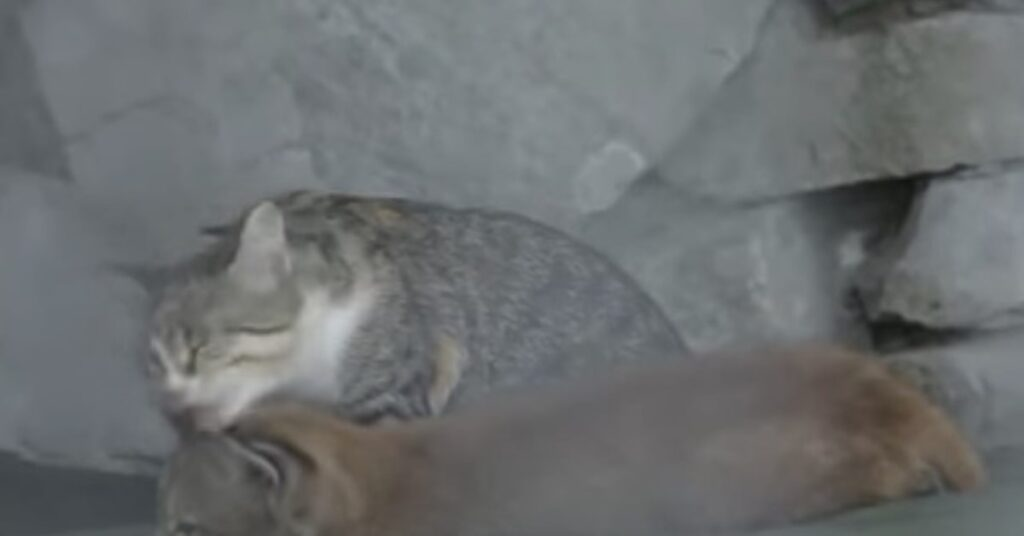 lince e gattina sua madre adottiva