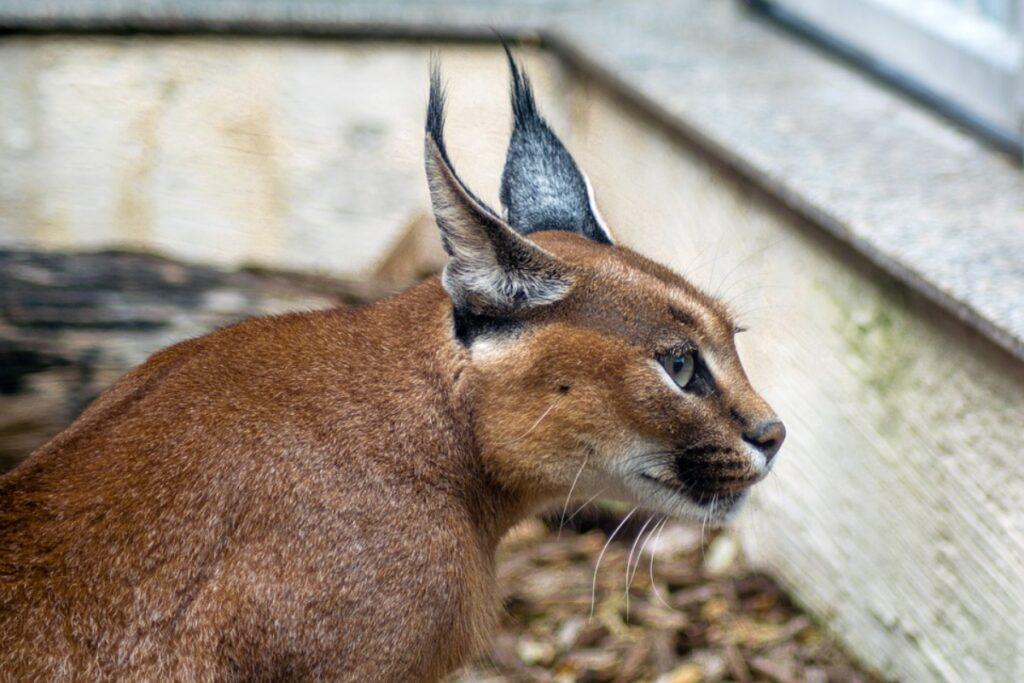 felino selvatico profilo