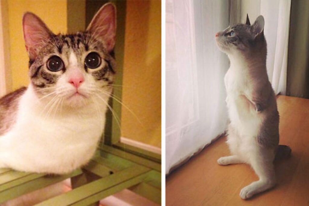 gatto senza zampe anteriori