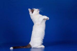 gatto munchkin su due zampe