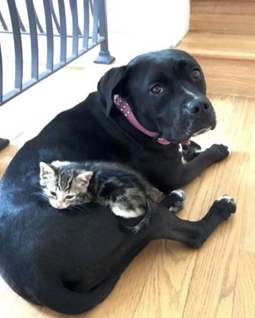 gattina dorme vicino a pitbull