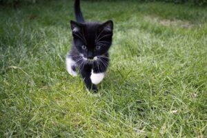 gattino corre sul prato