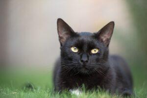 gatto nero sul prato