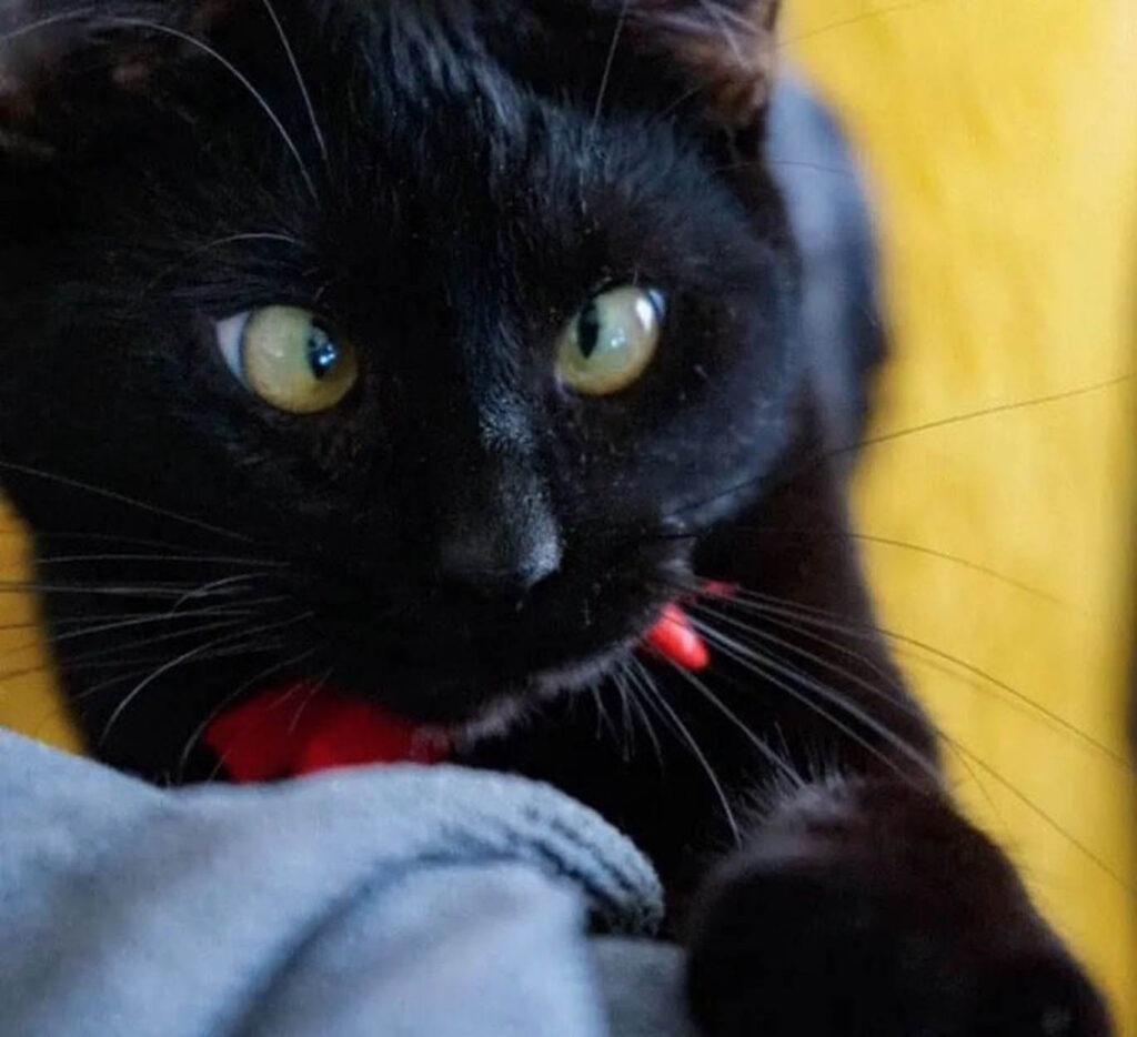 gatto nero con occhi storti
