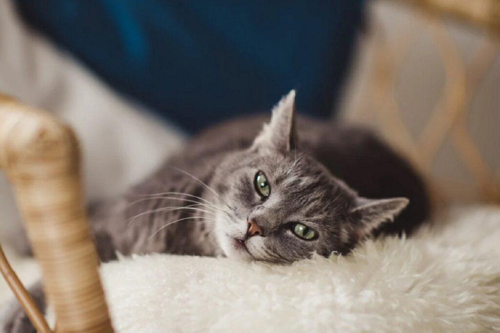 gatto grigio guarda in camera