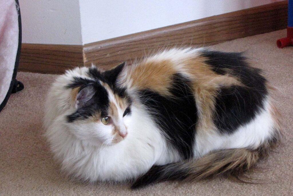 gatto tricolore a pelo lungo