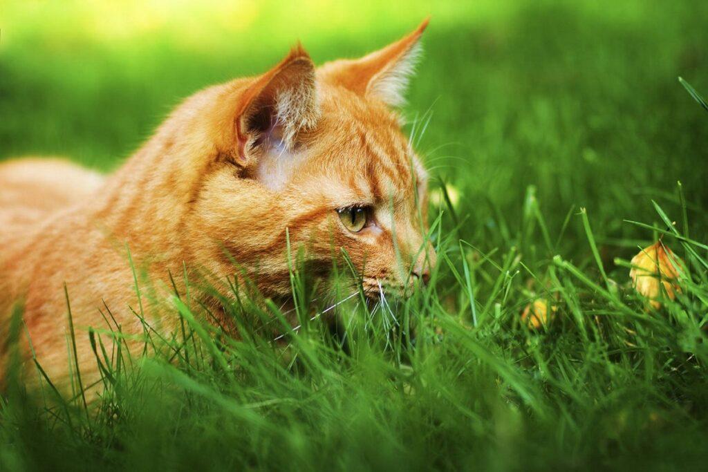 gatto arancione su un prato