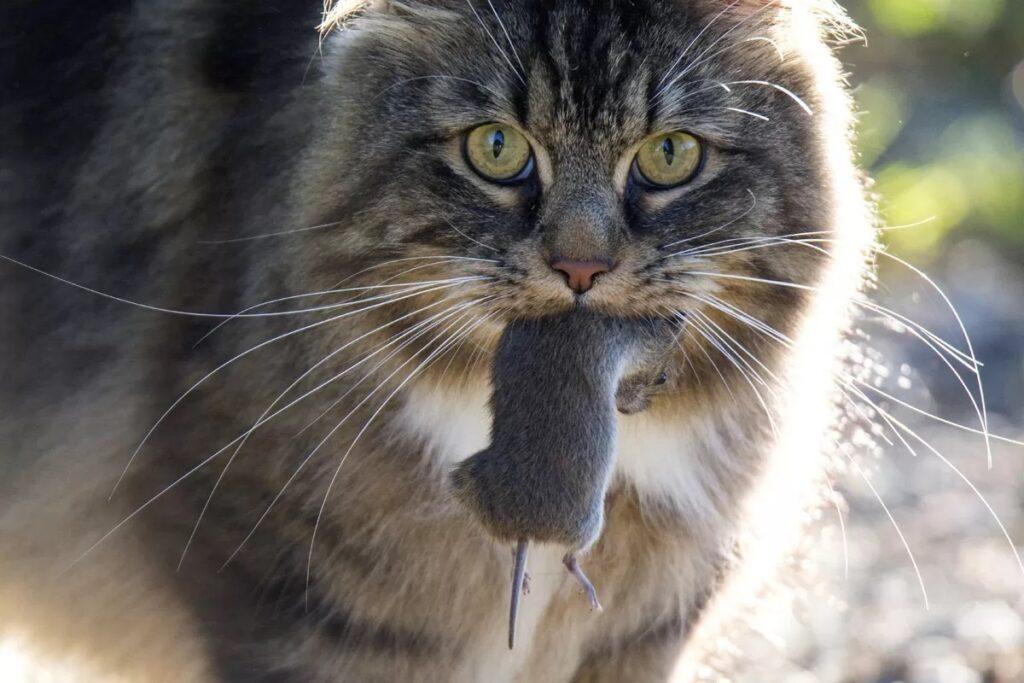 gatto a pelo lungo in primo piano