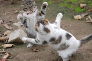gatti maculati che combattono