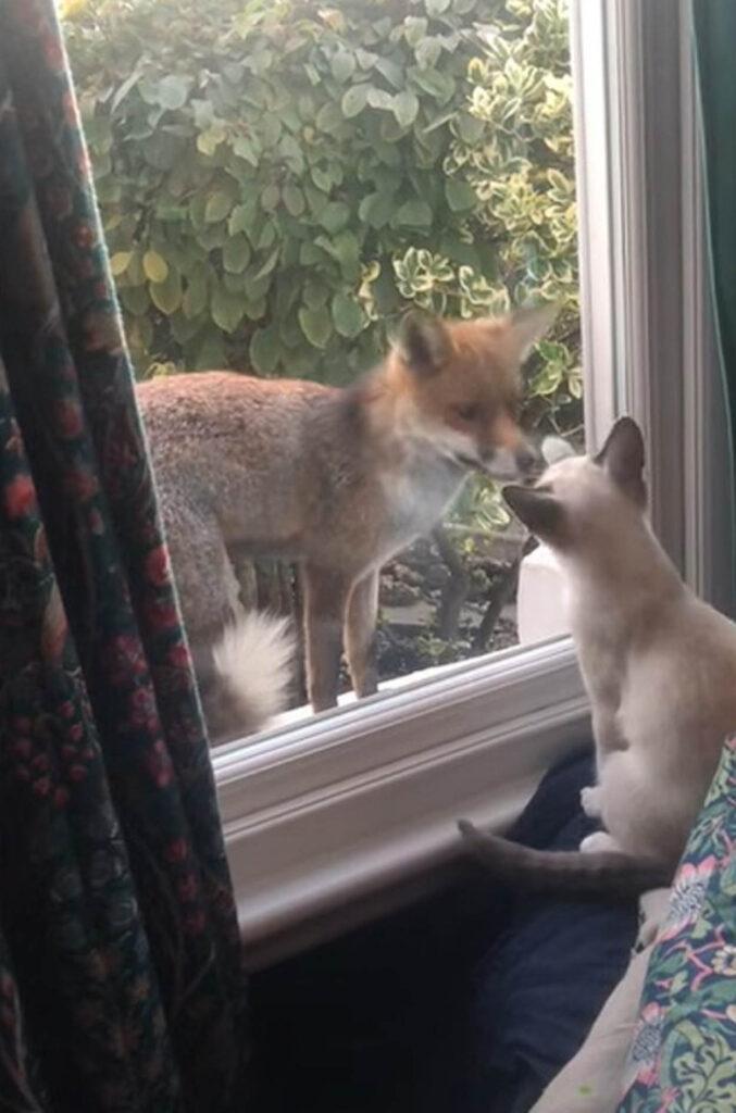 gatto e volpe fanno amicizia
