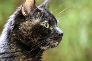 muso di gatto tricolore