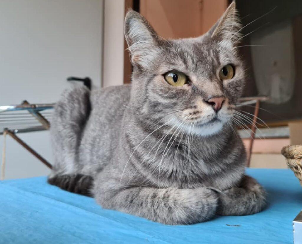 gatto europeo musetto a punta