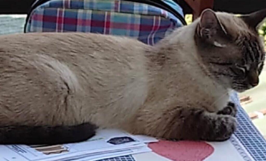 gatta celestina coda lunga e nera