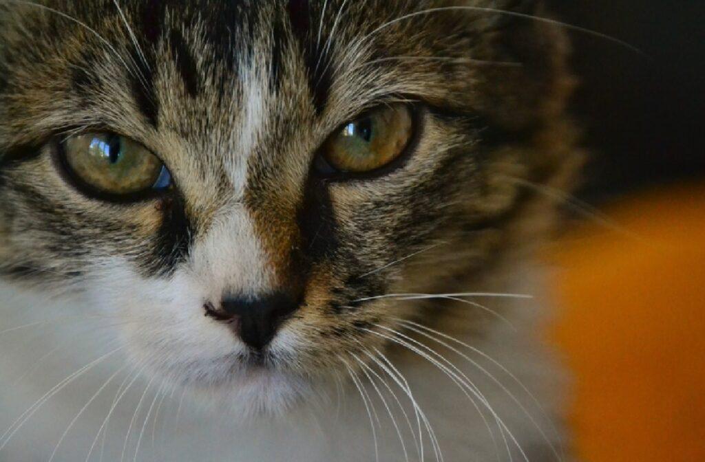 gatto soriano viso a metà pelo