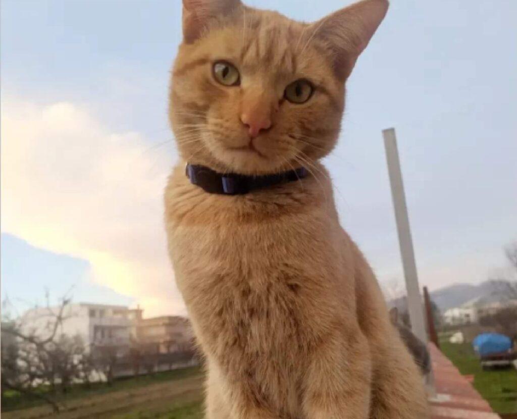 gatto ronny indossa un grosso collare nero