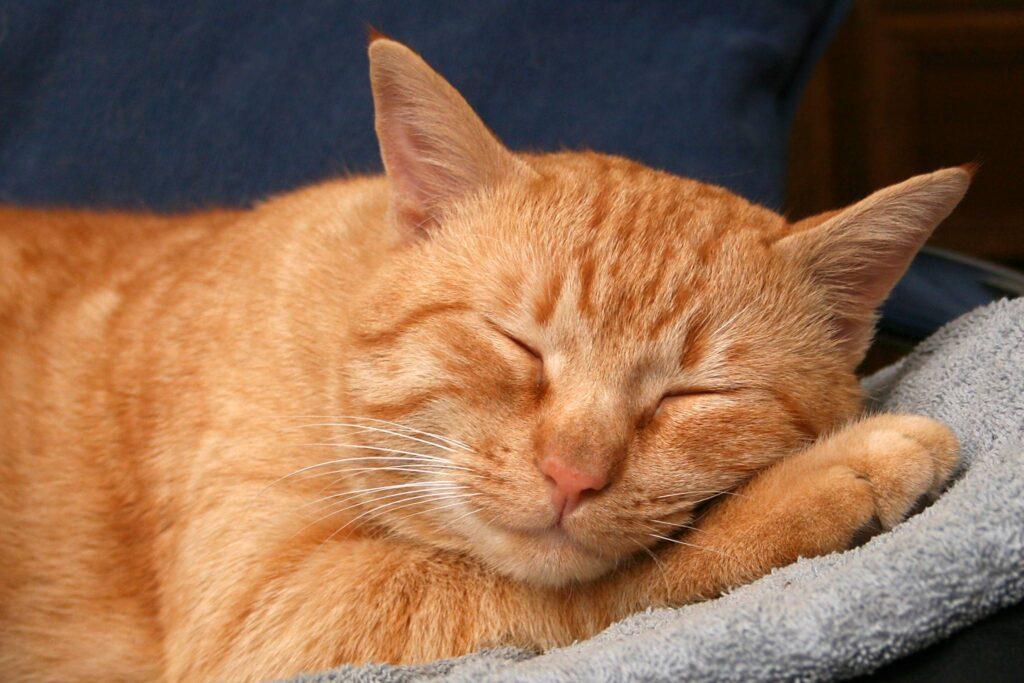 gatto rosso che riposa