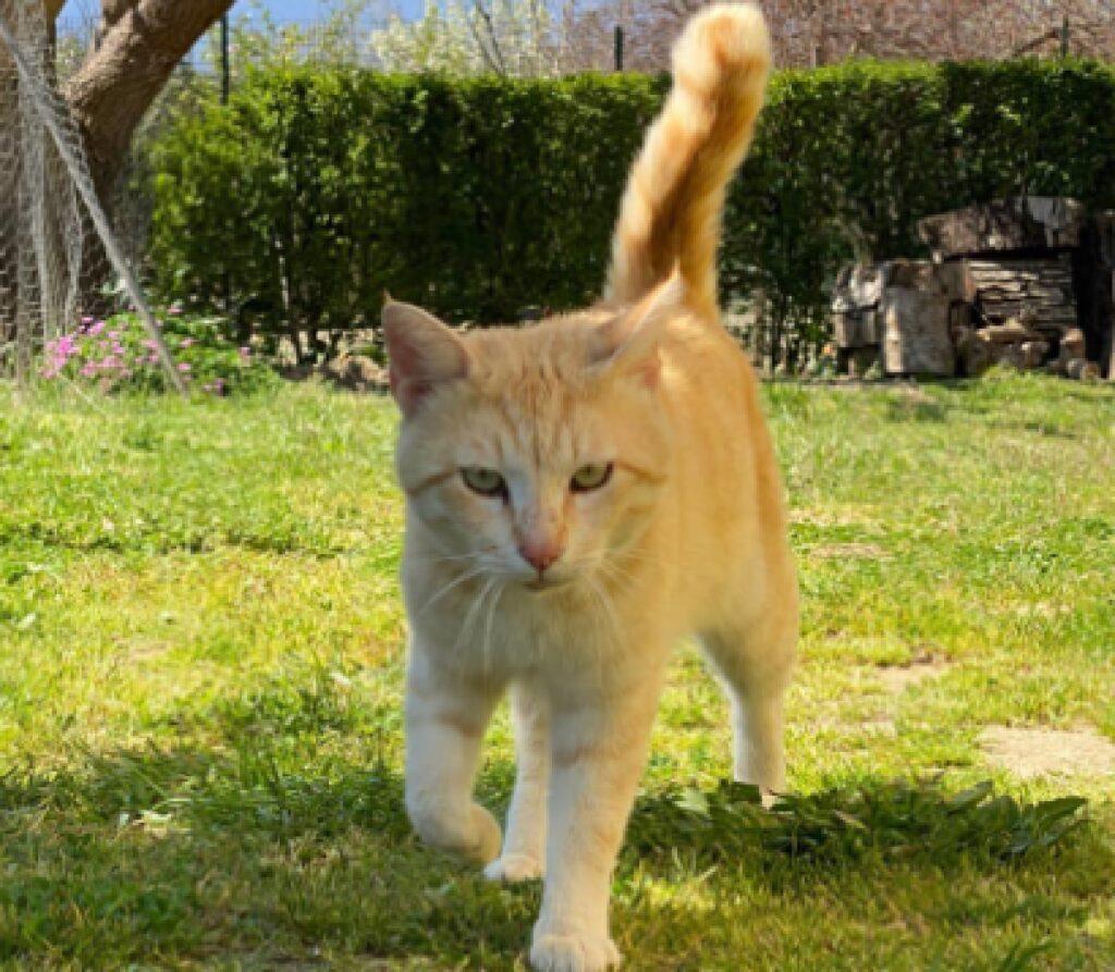 gatto zoi cammina sull'erba