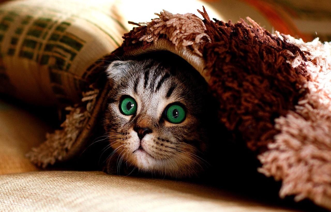 gatto sotto il plaid