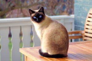 gatto siamese seduto