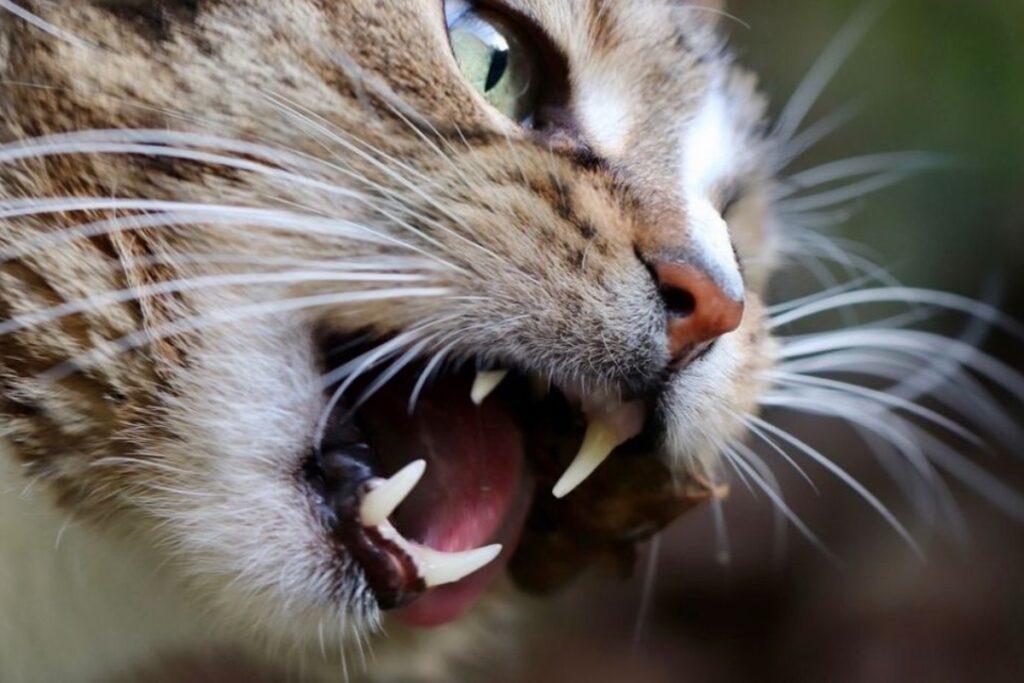 bocca del gatto