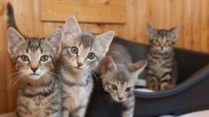 cucciolata di quattro gatti