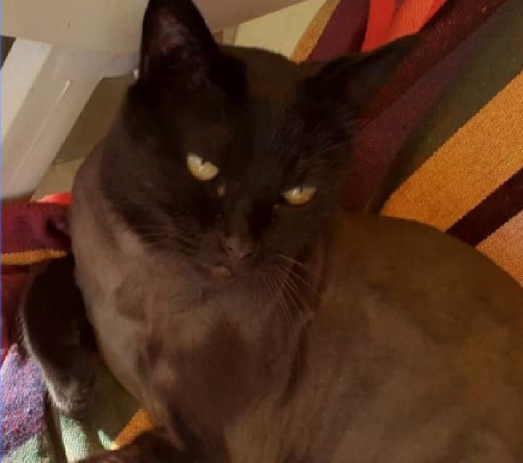 gatto ade pelo scuro maggior parte corpo