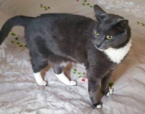 roma si cerca un gatto nero e bianco