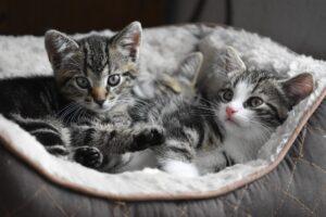 gattini grigi in una cesta