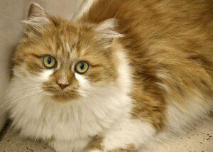 gatto persiano bianco e rosso