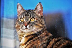 gatto grigio fondo blu