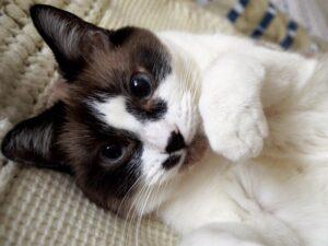 gatto bianco e marrone