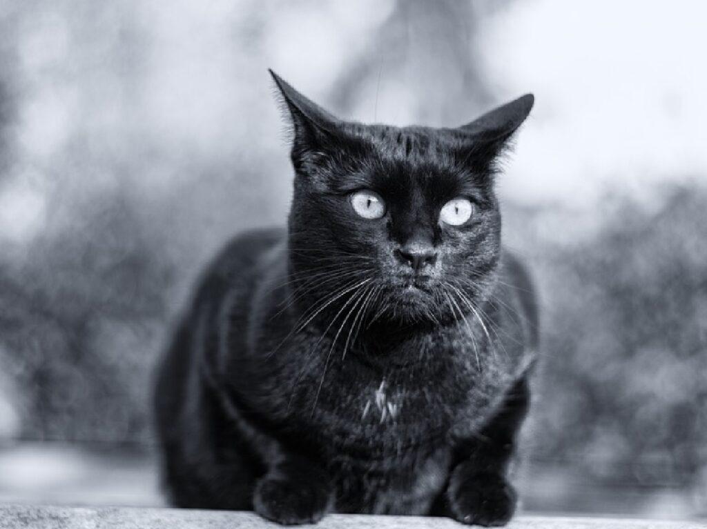 gatto nero su muretto