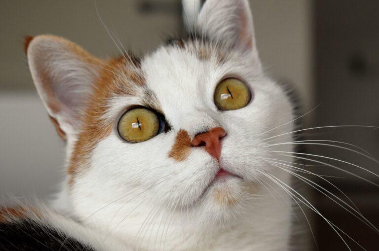 gatto con gli occhi gialli