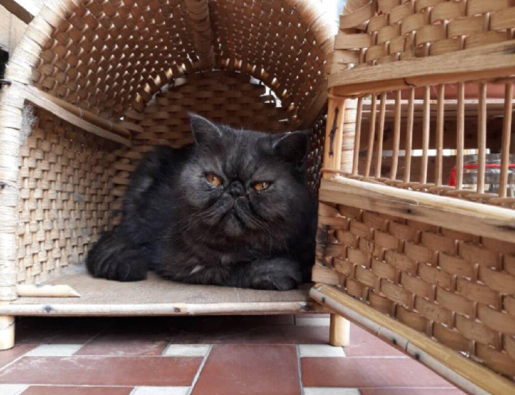 gatto nero occhi giallo arancioni